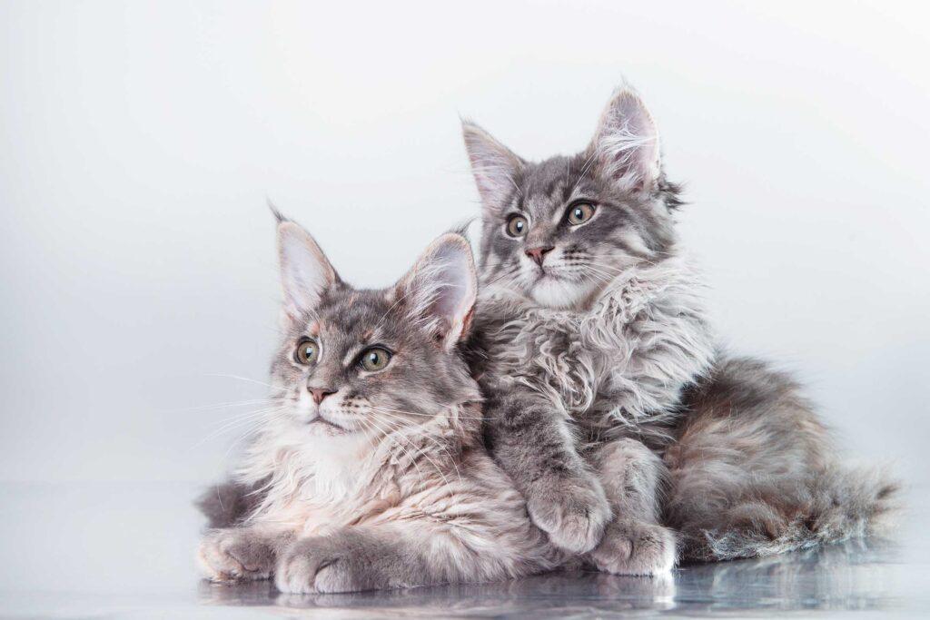 Cat breeds | Maine Coon